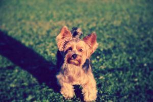 Yorkie Spotted! by Veox1