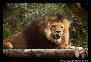 Lion: Not Amused II by TVD-Photography