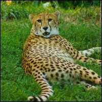 cheetah187 by redbeard31