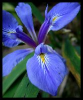 Riverbank Iris by lamsquaw