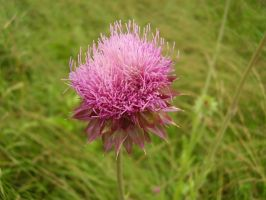 Thistle in Kentucky by TheSortedBead