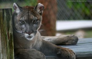 Florida Panther III by remadance