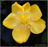 YELLOW FLOWER by THOM-B-FOTO
