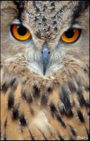 intense Eagle owl by Yair-Leibovich
