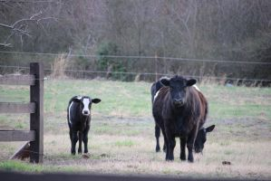 Cow Family by mrm911