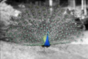 Peacock Color Splash by strryeyedreamr27