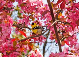 Golden Finch by shutterfly92