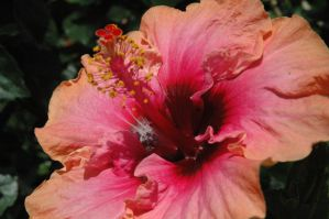 Pink lil Hibiscus by sinistertale