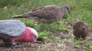 Brown Quail Galah Spotted Dove by BGai