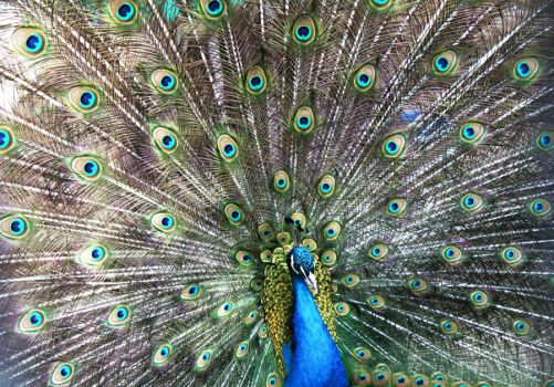 Peacock by Juliepd