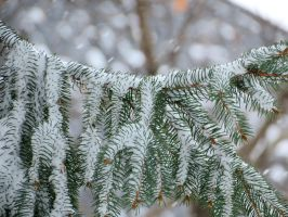 Snow On Pine Tree Branches by Kitteh-Pawz