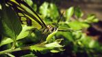 Green Butterfly Macro by CryoGfx