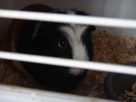 Guinea Pig by xDNarnian