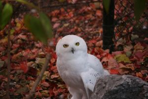 Snow owl by MacGyver0802