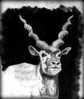 Antilope by philippeL