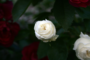 A white rose by sofalord