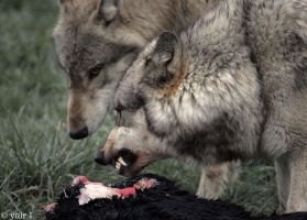 wolf dominance by Yair-Leibovich
