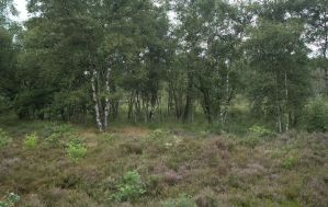 Birch Trees and Heath by Danimatie