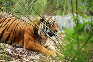 Malayan Tiger 67 by HarbingerPhotography