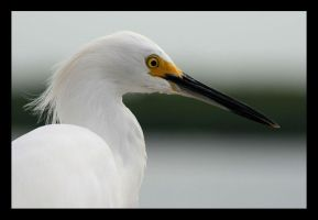 Snowy Egret by cradlesongxx