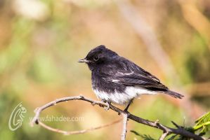 The Pied Bush Chat by fahadee