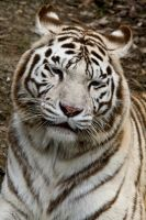 5543 - White Tiger by Jay-Co