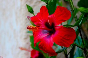 Hibiscus 4 by david-luzi