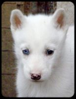 Siberian husky puppy 21 by Pawkeye