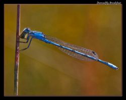 Damselfly Breakfast by boron