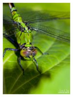 Green Dragonfly V by eccoarts