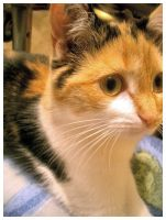 Calico Close Up by Link-Inc