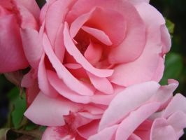Pastel Pink Rose 3 by hilldren