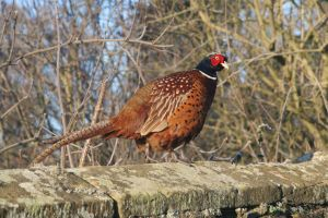 Pheasant warming up on a wall by GailJohnson