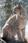 Sitting Lynx by Predators-Prey
