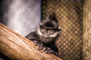 Francois' Langur by Swinemouse