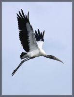 Wood Stork 40D0042348 by Cristian-M