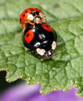 Ladybird Lovers by khufus