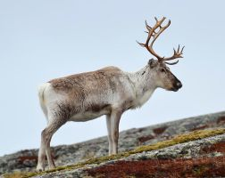 Reindeer 05 by nordfold
