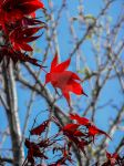 Scarlet Leaves by MaxK-W