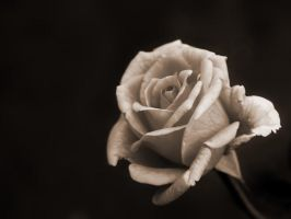 Faded Rose by TruemarkPhotography