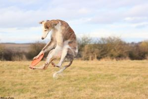 Jack the Saluki Lurcher playing with his frisbee by LoopySaluki1111