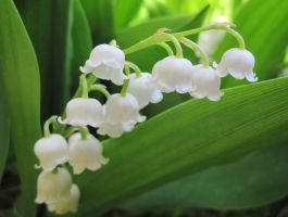 Lily of the Valley by PoliticalViolet