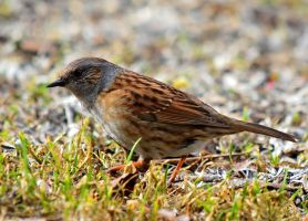 Dunnock by nordfold