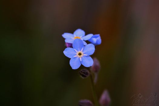 Little blue flower by RaptorXilef