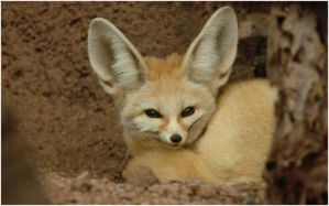 Fennec Fox by Bella-Blue