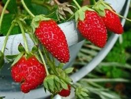 First Strawberries Of The Season by moreMDM