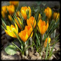 A bouquet of crocus by Klytia70