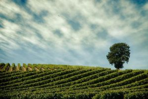 Alone in vineyards by ChristineAmat