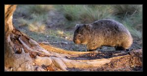 Wombat, Maria Island by eehan