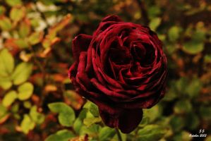 Red Rose by XswishfootX